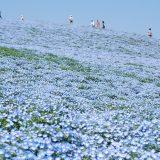 2016年ゴールデンウィーク 関東の穴場はこちら!一生に一度は見たい青いじゅうたんとは?