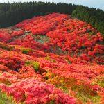 葛城山つつじ2016年の開花と見頃はいつ?ロープウェイの混雑具合は?