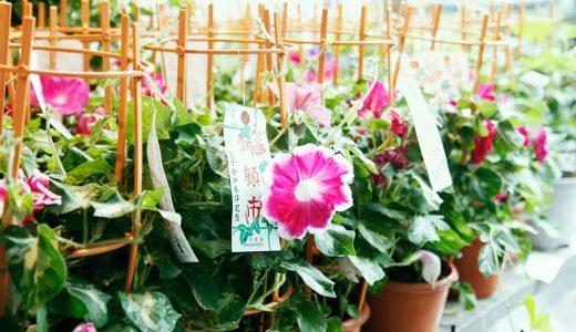 日本最大の朝顔市、入谷朝顔まつり2016年はいつ?朝顔のおすすめの買い方は?