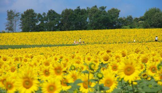北海道北竜町のひまわりまつり2016の見どころ紹介!サンフラワーの開花状況はいつなの?