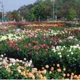 【山形】川西ダリヤ園がすごい!2016の日程、開花状況、品種・種類をレポート