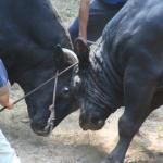 隠岐牛突き2016日程紹介|八朔大会の熱い攻防戦をレポートします