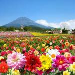 広島世羅のダリア祭り2016が100種類以上満開でやばい! 日程・開花状況・品種・種類をレポート