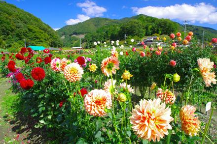 【兵庫】黒川ダリヤ園2016|1200株の満開に感動!日程、開花状況、品種・種類をレポート