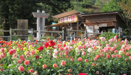 【秩父】小鹿野(両神山麓花の郷)ダリヤがきれい!日程、開花状況、品種・種類をレポート
