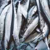 秋刀魚の旬の時期は何月まで?一番脂が乗っておいしいシーズンをお伝えします