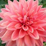 ダリアの花言葉色別まとめ|赤、白、黄色など品種、色ごとに違うって知ってました?