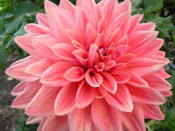 アレンジメントや花束などでとてもよく使われるダリア