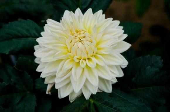 雅で優しい印象の白いダリアにはぴったりの花言葉