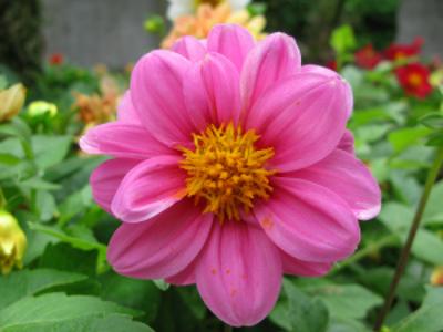ダリアのオレンジやピンクってすっごくきれい!種類・品種、開花時期をレポート