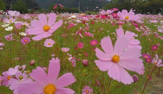 【高知県】越知町仁淀川宮の前公園コスモス祭り2016!日程、見どころ紹介、150万本のコスモスがお出迎え