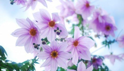 皇帝ダリアの鉢植え方法|害虫から病気を防ぐ、土作り、理想の時期などをお伝えします