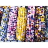 虹色とうもろこしグラスジェムコーンの種って何色?通販サイト、種はここで買えます!!