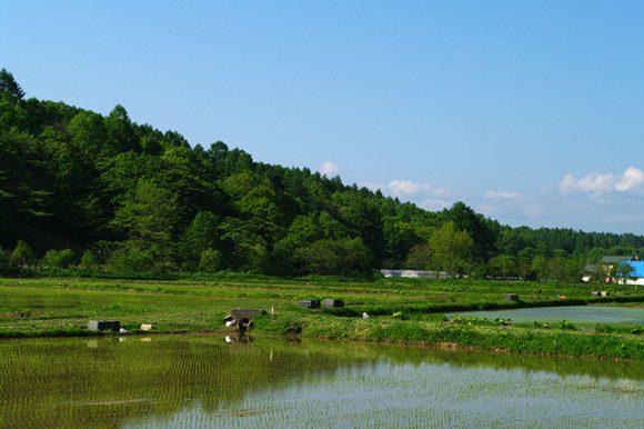 松と田んぼ