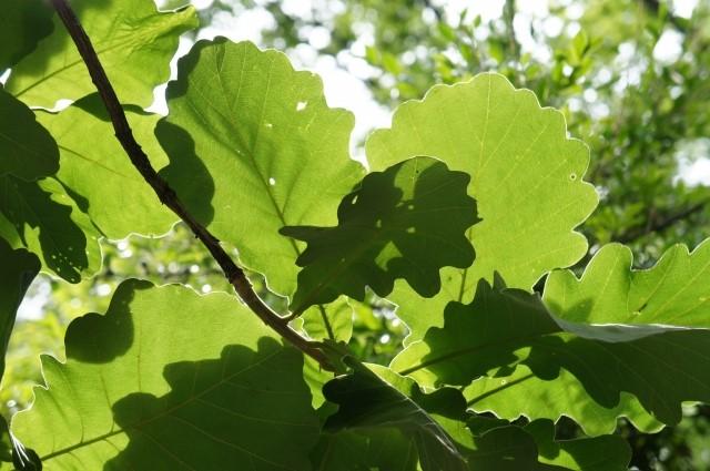 「柏」の葉