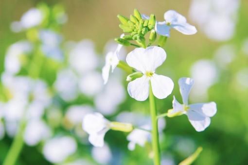 すずしろの花
