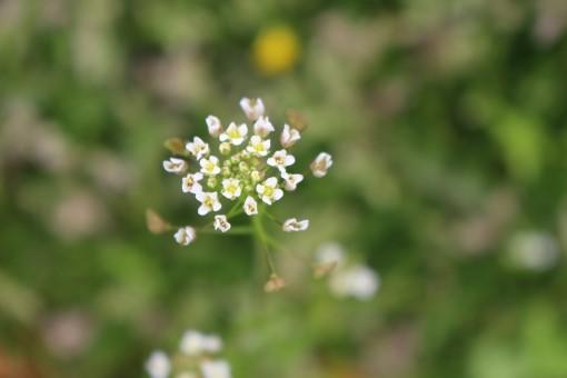なずなの花