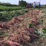 安納芋の栽培方法について|家庭菜園と農家の場合って違いはある?