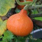 赤皮栗かぼちゃ