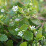 はこべらの花言葉って何?画像で見る花の写真・効能などまとめ|春の七草を堪能しよう