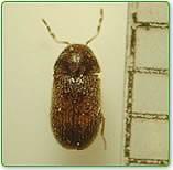 ジンサンシバンムシの駆除方法まとめ|幼虫の画像・発生原因・予防策をチェック
