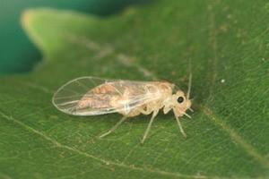 チャタテムシの卵・幼虫・成虫を画像で解説|大量発生すると困る害虫の特徴をチェック