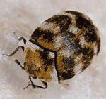 ヒメマルカツオブシムシを幼虫から駆除しないと衣類が大変に!発生源の見つけ方から駆除対策まとめ