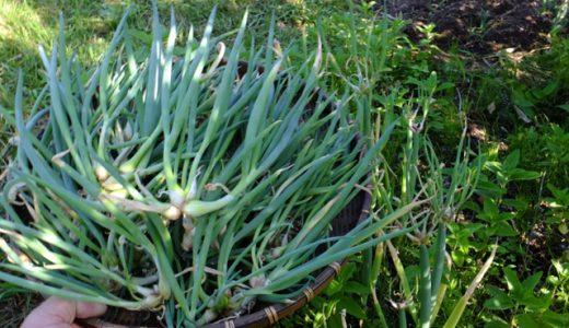ヤグラねぎの特徴・旬の時期|北陸から東北地方の青ねぎ(葉ねぎ)に分類されるねぎ