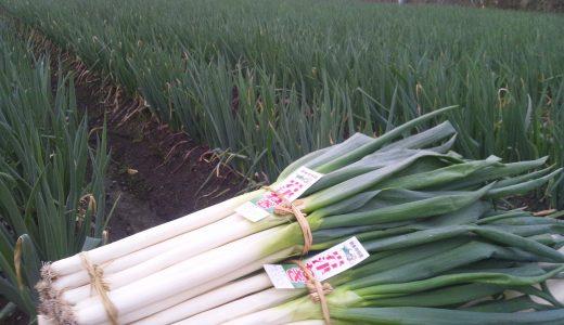 岩津ねぎの特徴・旬の時期は?|兵庫県の白根・葉どちらも食べれるねぎ