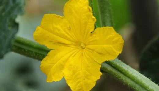 きゅうりの花はどんなの?雄花と雌花の違い・見分け方は?花言葉は?