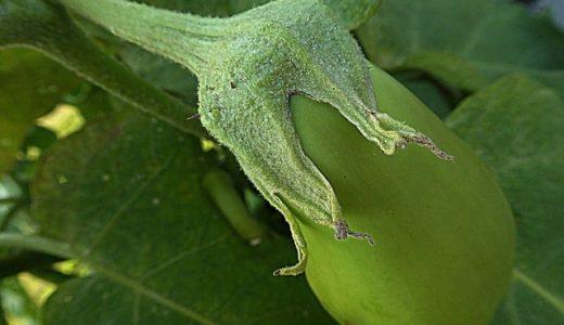 万寿満の特徴・旬の時期は?|主に栽培品種のなす