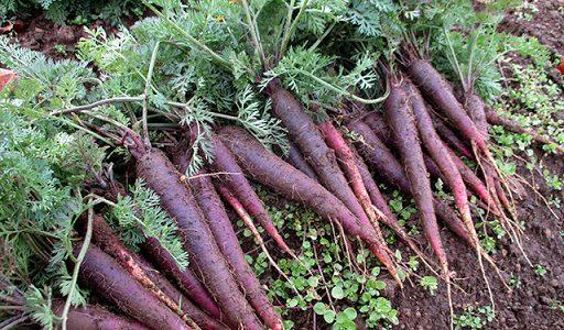 紫ニンジンの特徴・旬の時期は?マリネやラペでよく使われる地域ブランドの甘いニンジン