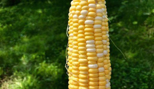 ゆめのコーンの特徴・旬の時期まとめ|収穫後も甘さが長く続くとうもろこし