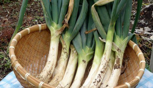 松本一本ねぎの特徴・旬の時期|長野県の白ねぎ(根深ねぎ)ブランド品種に分類されるねぎ