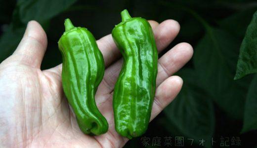 京みどりの特徴・旬の時期まとめ|濃い緑色でツヤのあるシシ型ピーマン