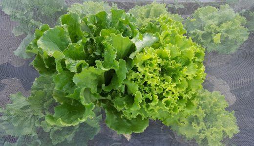 リバーグリーンの特徴・旬の時期まとめ|シャキシャキ食感がクセになる?甘味の強い肉厚レタス