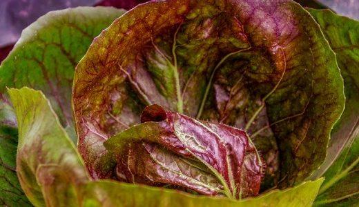 レッドバターレタスの特徴・旬の時期まとめ|赤いサラダ菜?色鮮やかで苦味が少なく食べやすいレタス