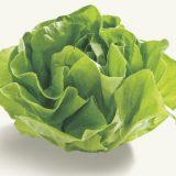 サラダ菜の特徴・旬の時期まとめ|通年食べられる柔らかい食感が魅力のレタス