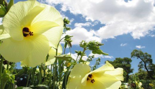 花オクラの特徴・旬の時期まとめ|食べるために改良されたオクラの花