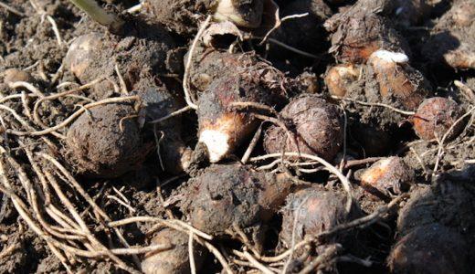 里芋の芽が出た場合は食べられる?芽が出た場合の原因や対処法まとめ