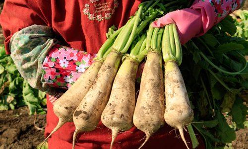 牧大根の特徴・旬の時期は?長野県の伝統品種