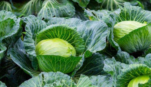 彩里の特徴・旬の時期まとめ|濃緑色で夏秋どりの寒玉系キャベツ
