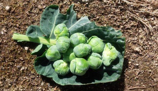 早生子持の特徴・旬の時期まとめ|小さな芽キャベツの代表品種