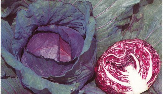 レッドルーキーの特徴・旬の時期まとめ|ヨーロッパ原産の紫キャベツ