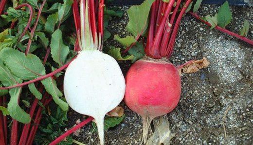 岩国赤大根の特徴・旬の時期は?山口県の伝統品種