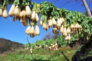 とっくり大根の特徴・旬の時期は?山口県の伝統品種