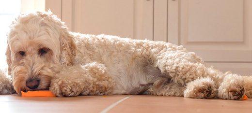 犬にパプリカを食べさせても大丈夫?おもな症状と与えるときの3つの注意点