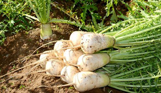 ねずみ大根の特徴・旬の時期は?長野県の伝統品種