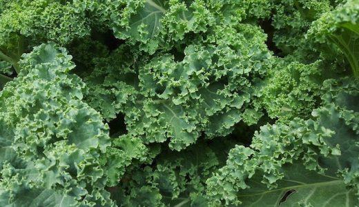 ケールの特徴・旬の時期まとめ|野菜の王様と呼ばれる栄養価の高いキャベツの先祖