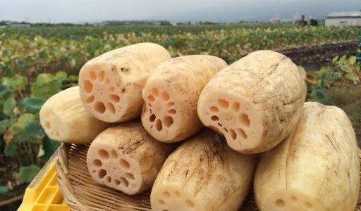 岩国れんこんの特徴・旬の時期まとめ|皮ごと食べられるもっちり食感が人気のれんこん